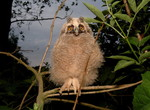 Long-eared Owl, Amst