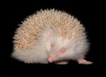 Albino Hedgehog, Mid