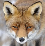 Red Fox, Haarlem, Ne