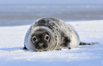 Grey Seal pup, Grien