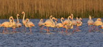 Greater Flamingo\'s,