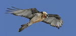 Bearded Vulture adul