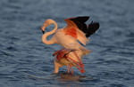 Greater Flamingo\'s