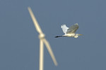Great Egret passes w