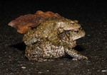 Toad migration, Bloe