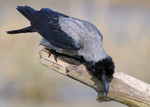 Hooded Crow, Oderdel