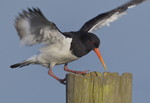 Oystercatcher, Water