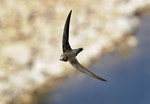 Alpine Swift, Rio Ta