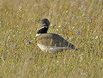 Little bustard, La M