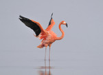 Caribean Flamingo, B