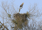 White-tailed Eagle,
