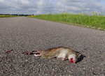 Rat, roadkill, the N