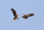 White-tailed Eagles,