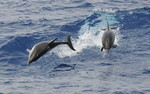 Striped Dolfins, Lig