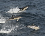 Common dolfins, Bay