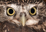 Little Owl, in recov