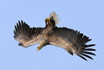 White-tailed Eagle f