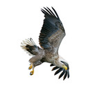 White-tailed Eagle i