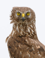 Female Hen Harrier,