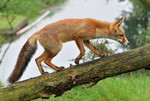Red Fox climbing, th